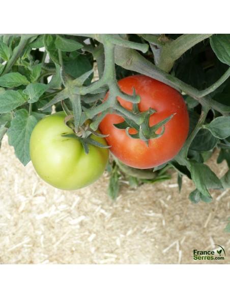 Paillage chanvre pour plants de tomates